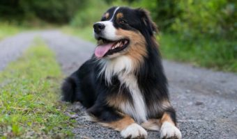 Best Dog Brush for Australian Shepherd Reviews & Buying Guide