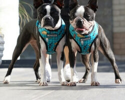 Lead with Care: The Search For the Best Harness For Your Boston Terrier
