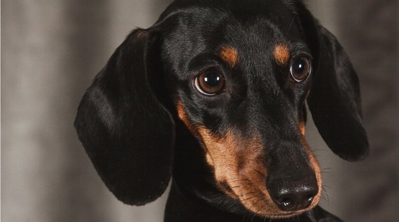 Best Dog Ramps Dachshunds