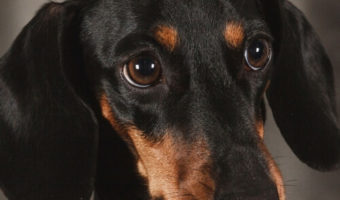 Best Dog Rramps for Dachshunds