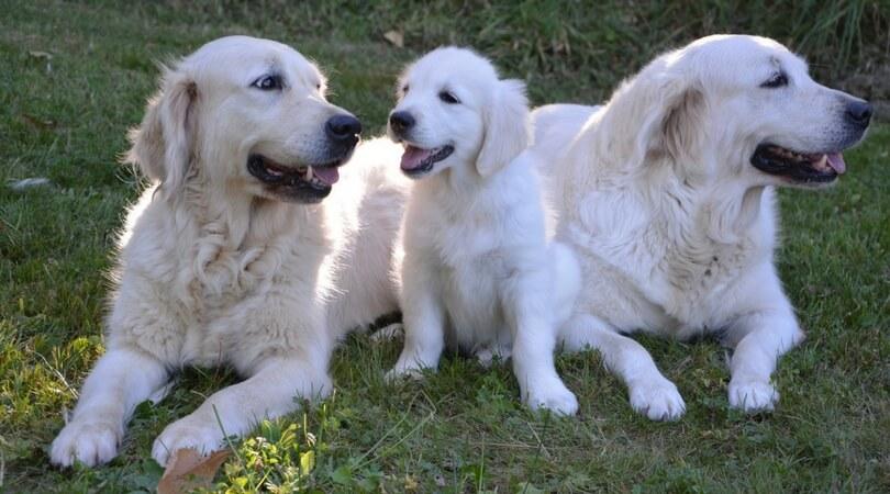Best Dog Shampoo Golden Retrievers