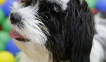 best clippers for Havanese