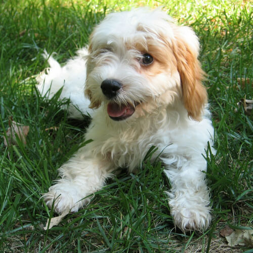 Best Food for Cavapoo Reviews