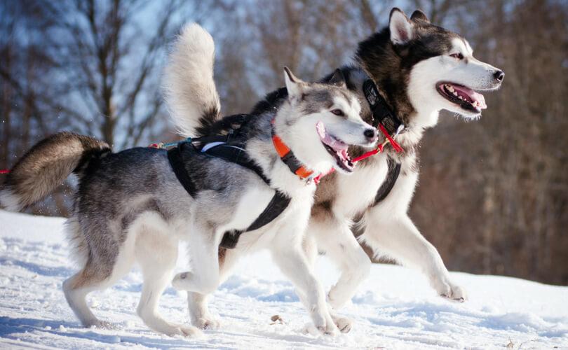 Best Harness for Alaskan Malamute Reviews