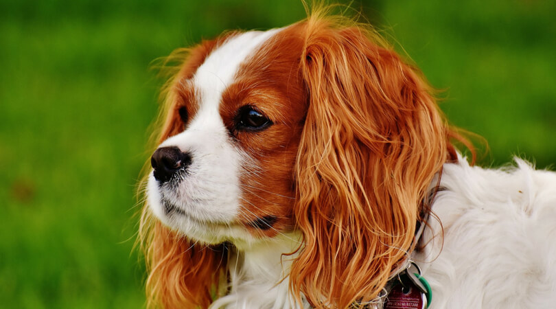 Best Shampoos for Cavalier King Charles Spaniels Reviews