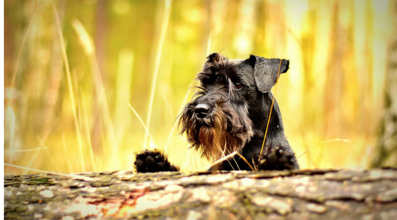 Best Shampoo for Miniature Schnauzers