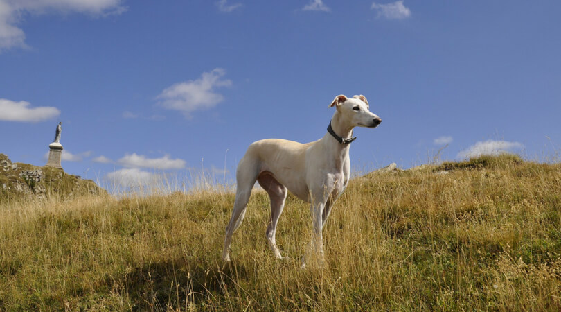 Best Dog Boots for Greyhounds