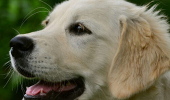 Best Dog Nail Clippers for Golden Retrievers