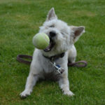 Best Toys for Cairn Terriers