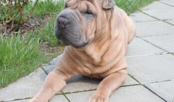 Best Collar for Shar Pei