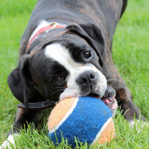 Best Toys for Boxers Dogs
