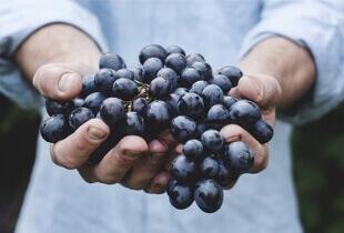 can shih tzu eat grapes, can shih tzu dogs eat grapes, can shih tzu eat green grapes